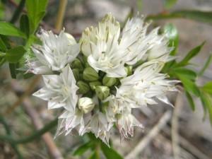 Allium-haematochiton-fl-1