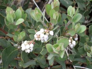 Arctostaphylos-glandulosa-ssp.-zacaensis