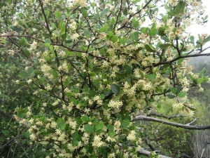 Cercocarpus-minutiflorus-fl-1