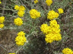 Eriophyllum-confertiflorum-fl