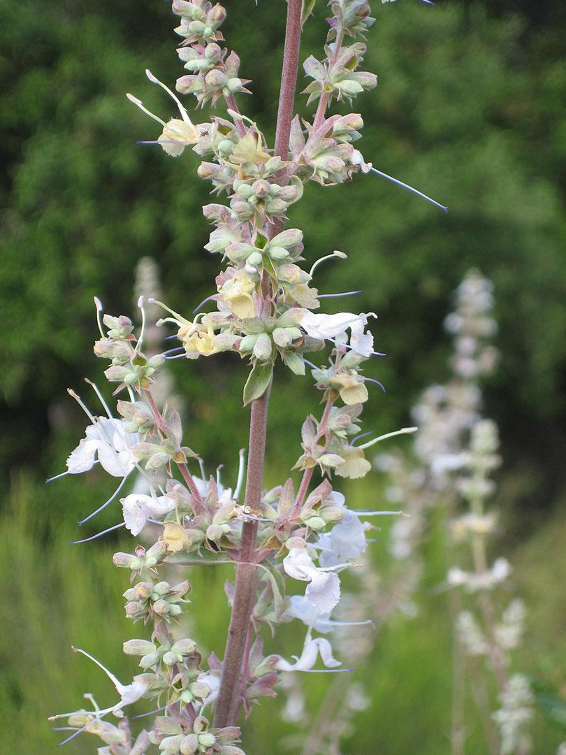 Salvia Apiana Plant Trails