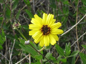 Encelia-californica-fl