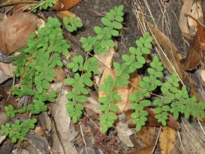 Pellaea-andromedifolia-leaf