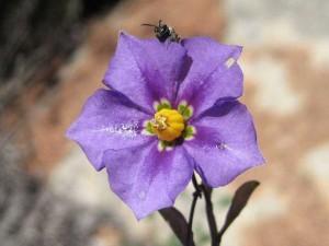 Solanum-parishii-fl