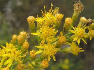 Ericameria-palmeri-fl